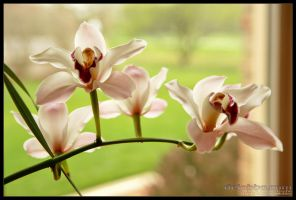 orchids by delobbo