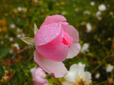 Rose after the rain by ArtyD2
