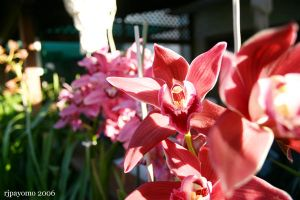 Orchids 4 by rijah