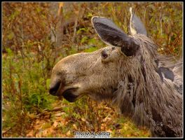 Moose in Algonquin - 2 by PrimalOrB