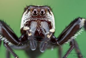 Jumpering spider by ColinHuttonPhoto