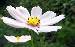 White Flower (Day 183) by Hedwigs-art