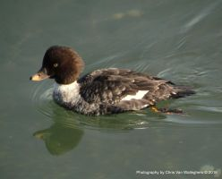 Goldeneye Glide Reflection by vanwaglajam