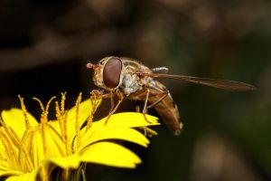 Hoverflies in December Series 1-2 by dalantech