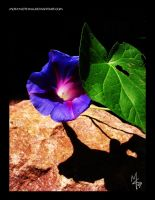 Morning Glory w leaf and rock by mon-mothma