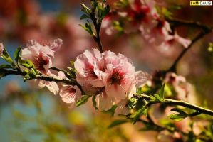 cherry blossom by marcgwyn