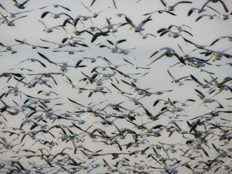 Snow Geese by arcalinte