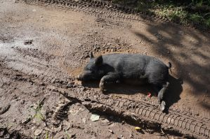 pig in the mud by dj1001