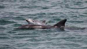 Baby Dolphin by Oracle88