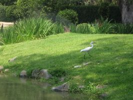 white egret 01 by CotyStock