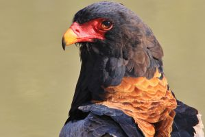 Bateleur Eagle - Portrait of Pride and Beauty by LivingWild