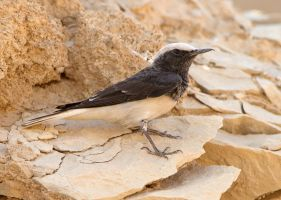 Rock chick - Hooded Wheatear by Jamie-MacArthur