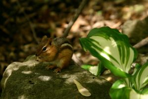 Chipmunk on a rock by nwalter