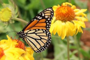 Danaus plexippus by TheSleepyRabbit