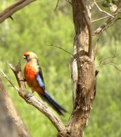 Rosella by Buble