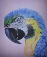 Parrot - My first drawing in color by AngelArt91