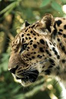 Leopard IV by Schoelli
