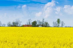 Yellow Fields by sztewe