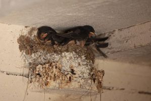 a nest of barn swallows by Ulliart