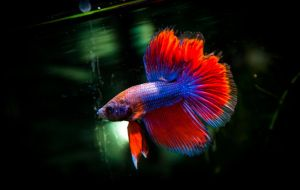 My Betta Breeding by Jullelin