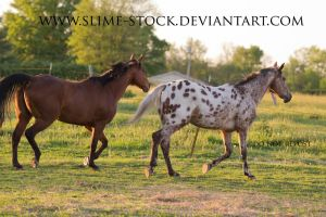 QH and Tb x Appy trot in sync by slime-stock