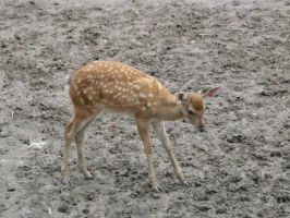 Baby Deer 2 by IdunaHaya-Stock