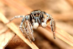 jumping spider 46 by JamesMedlin