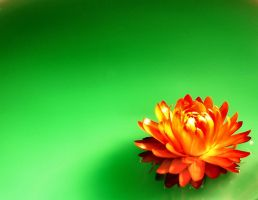 Orange Red Flower by mt-stock