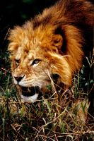 Lion 2 by Art-Photo