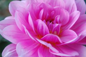 pink petals 2 by MessiMutt