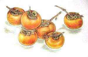 persimmons by randomdream