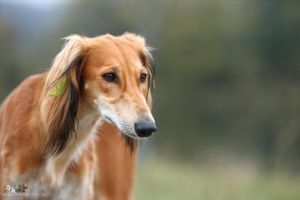 Red saluki by Wolfruede