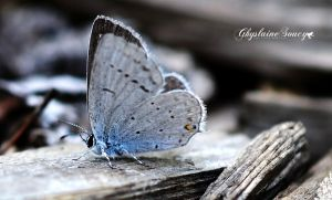 Eastern tailed blue by gigi50