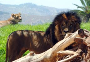 Lions looking by fosspathei