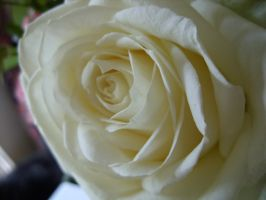 white rose by venus-sky