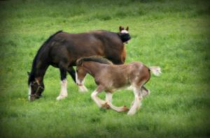 Clydesdale Foal II by LHufford