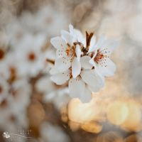 the typical spring flower... by ildiko-neer