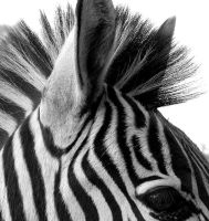 Zebra Black and White by Jenvanw