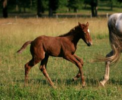 Warmblood Foal 3 .:Stock:. by Photopolis