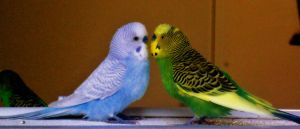 Parakeet Kiss by hm923