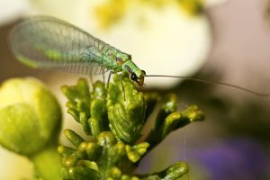 Backyard Lacewing by sellsworth
