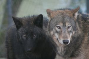 Two Wolves 2684862 by StockProject1
