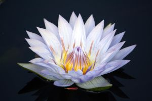 Water Lily 23 by MegMarcinkus