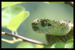 Atheris hispida 4 by BPFischer