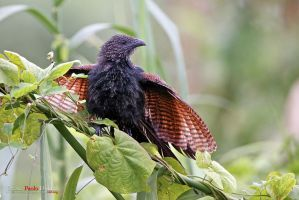 Lesser Coucal by DVance