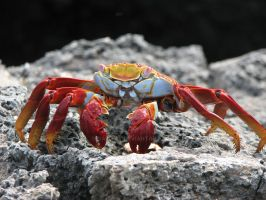 Crab, Galapagos by galitay