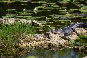 Young gator sunning by LordMajestros