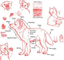 Wolf Anatomy by Mauston-girl