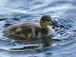 One young duck by Mogrianne