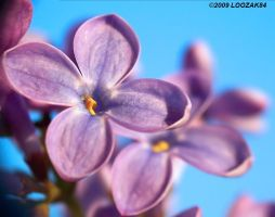 Lilac power_1 by loozak84